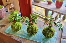 大阪府大阪市平野区|盆栽・苔玉|苔玉作りコース