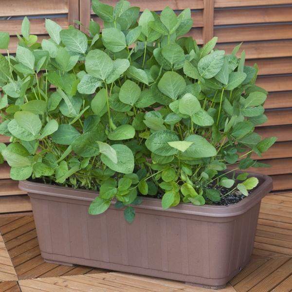 枝豆 栽培